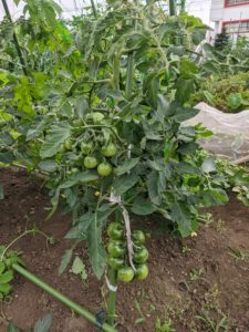 トマトの成長