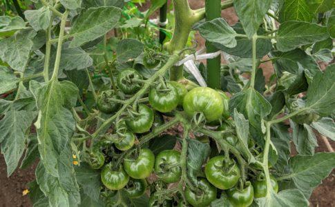 トマト畑自給力